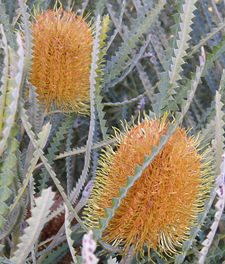 Banksia 17