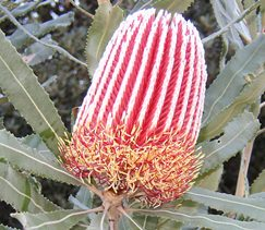Banksia 7